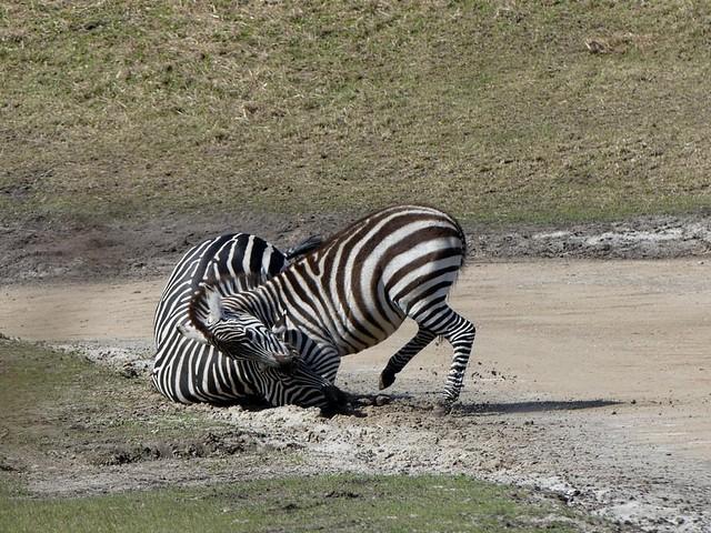 Grant-Zebra, Wildlands Emmen