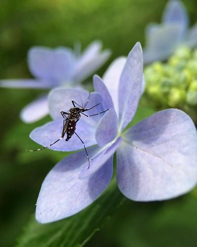紫陽花に藪蚊 #mosquito on #hydrangea. #flower #7x #macro #olloclip