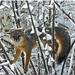 Fox Up a Tree EXPLORED July 4, 2016 by MyRidgebacks - Sharon C Johnson