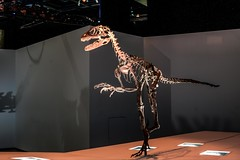 deinonychus  at Houston Museum Of Natural Science