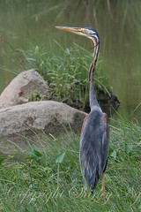 purple heron 20130506-IMG_0997