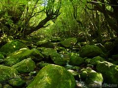 白谷雲水峡 (Shiratani Unsui-kyo Gorge)