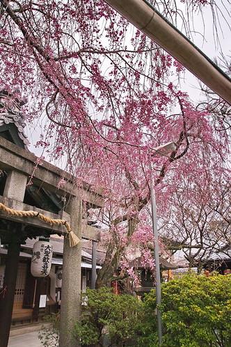 【写真】2013 桜 : 雨宝院/2021-09-19/IMGP9122