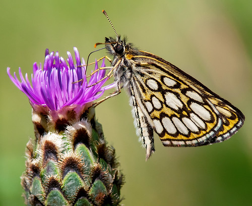 butterfly morpheus hesperiidae ócsa heteropterus