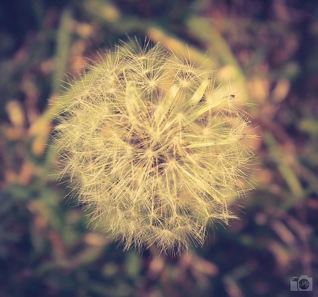 dandelion dreams essay