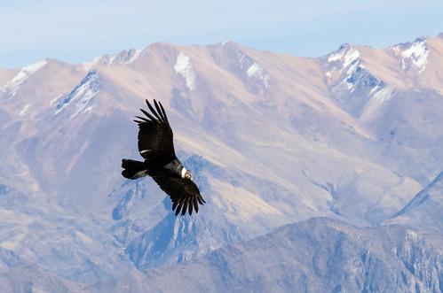 peru condor arequipa colcacanyon arequiparegion