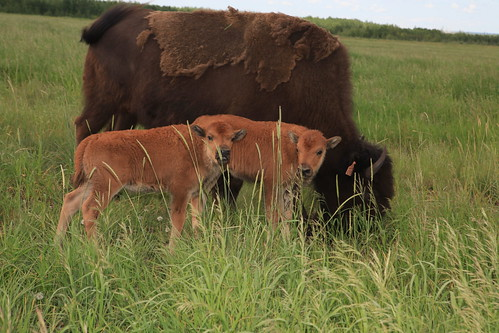 Bison twins born at Beaver Creek Wood Bison Ranch