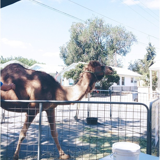 Guess what day it is! Guess. What. Day. It. Is. #camel #tehachapi