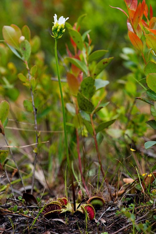Dionaea miscipula