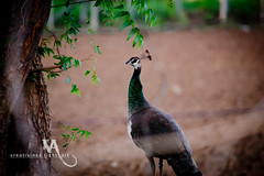 A female peafowl