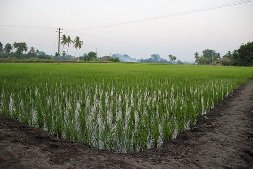 Standing paddy crop in Elumalai's fields