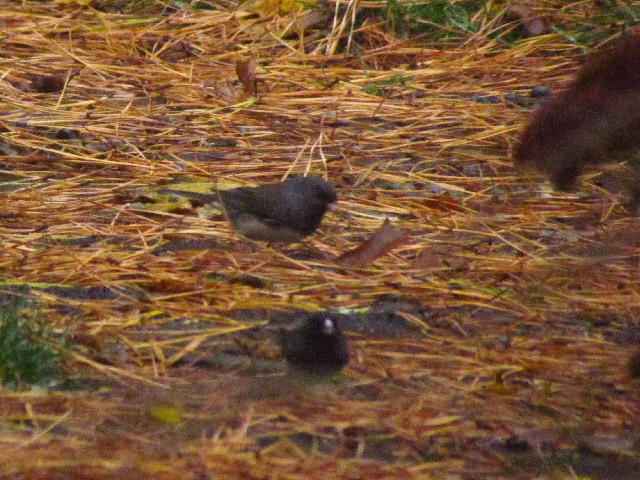 First Juncos 11:3:13