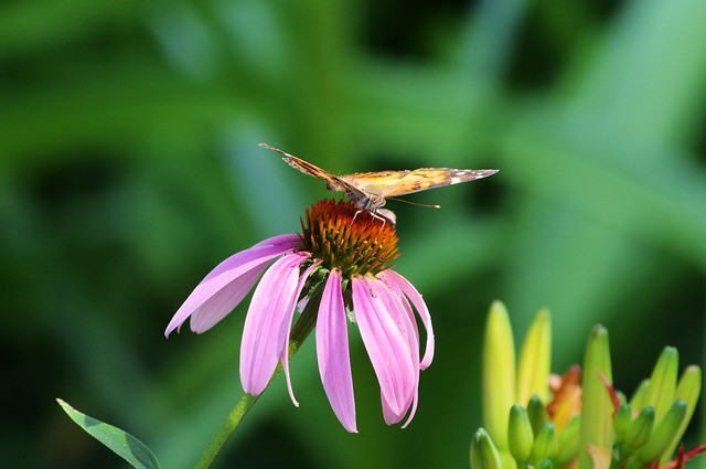 Butterfly on Purple Coneflower, West-Central Arkansas, July 25, 2011