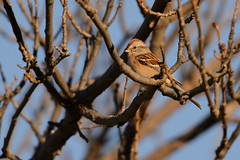 Tree Sparrow_49111_.jpg by Mully410 * Images