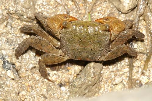 雙齒近相手蟹 (Perisesarma bidens) 不喜歡浸泡在水中,因此漲潮時可在紅樹林等高處見到牠們。(圖片攝影:施習德)