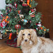 Honey in front of our small doxie tree by Doxieone