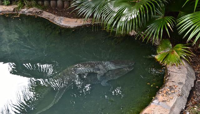 mating alligators