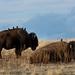 Buffalo: Antelope Island by rickimonius