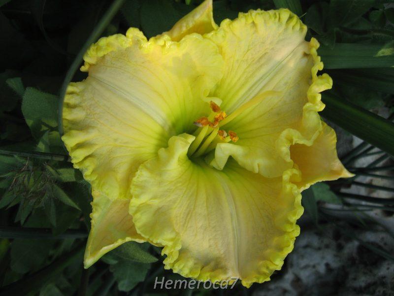 """Hémérocalle """"Green Mystique"""" 12841006445_df5c91d783_o"""