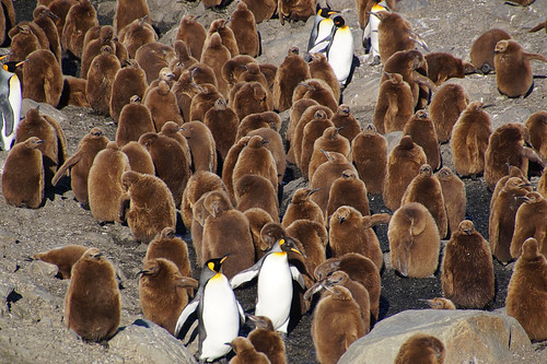434 Koningspinguins