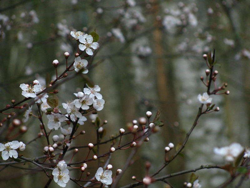 Cherry Plum Blooming