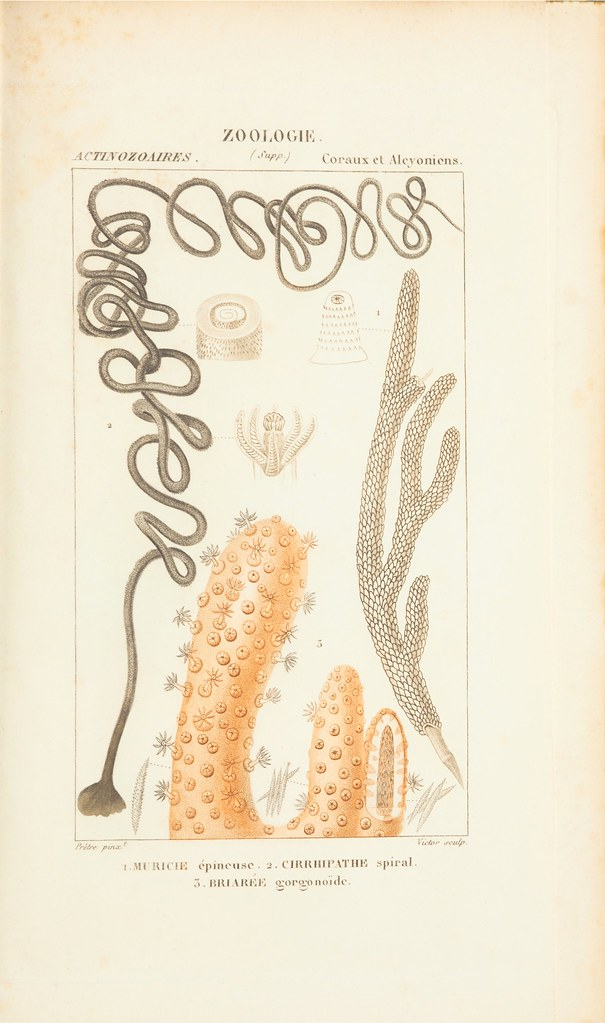 described in 1840s as Actinozoa (obsolescent term)