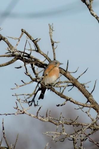 #32 Eastern Bluebird (Sialia sialis )