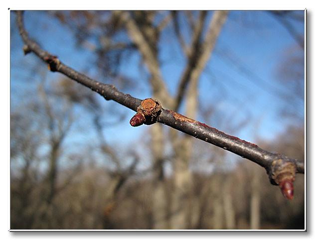 ミズナラの冬芽.先端には複数の冬芽ができていた.