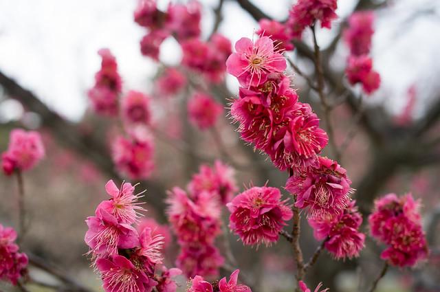京都御苑 梅園