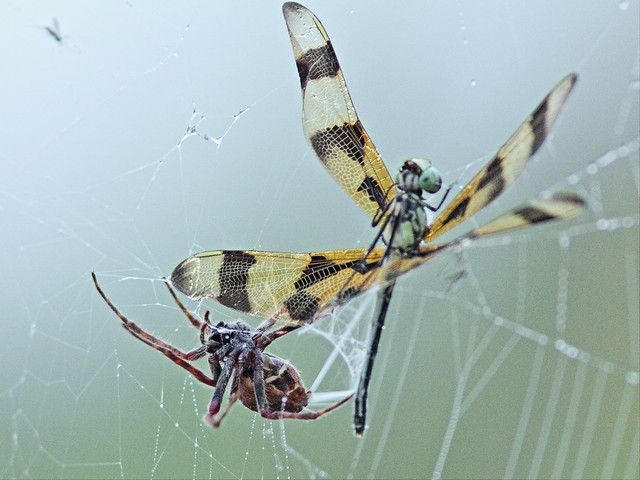 Dragonfly and spider 02-20140323