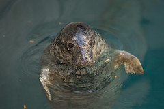 Gray Seal Pup floating in water