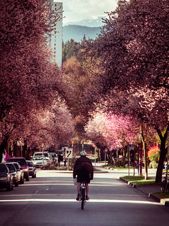 Cherry Blossoms in Vancouver