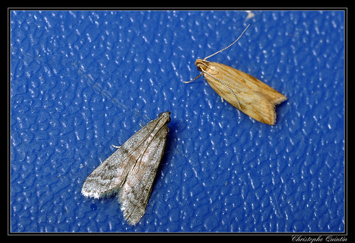 Ephestia sp. (E. unicolorella ?) - left - & Orophia ferrugella - right