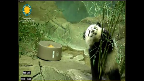 Bao Bao playing with boo
