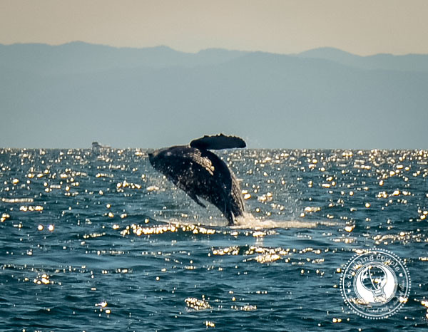 3 Reasons Why You Need to Visit Punta de Mita, Mexico - Humpback Whale Baby