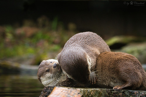 On a stump by the water's edge, one otter is lying on its side. Another reachs over, as if flurfing the first's belly.