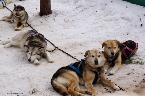 husky beagle leader dogs