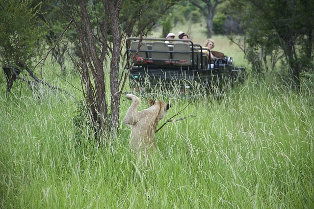 Sabi Sabi Private Game Reserve - Lion