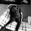 All snuggled by the fire. Complete with peanut butter on her face. #thatsmygirl #smellybenelli #blacklab