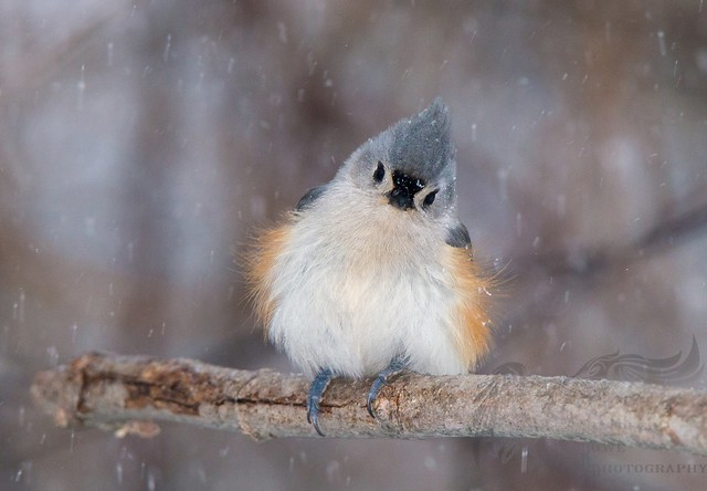 Tufted Titmouse 1 2_2