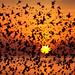 Starling Murmuration and Sunset by Alan MacKenzie