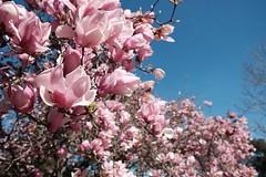 blossom, flower, branch, magnolia, flora, spring, petal,