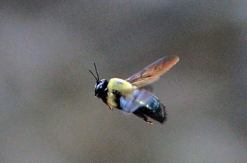 Flying_Bumble_Bee