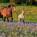 Wild mustang mare & foal in field of wild flowers - 1st Place Fauna - Al Perry
