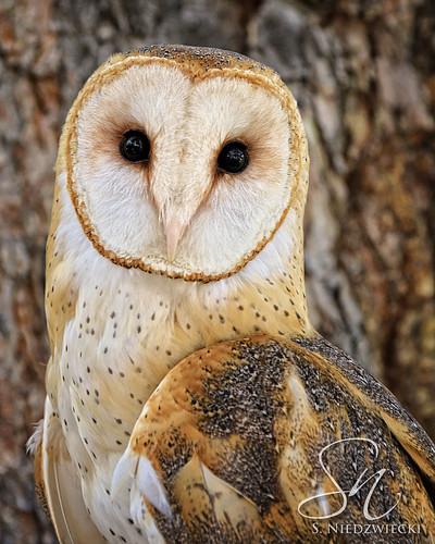 Barn Owl 3449-15