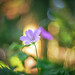 Herb Robert by Dhina A