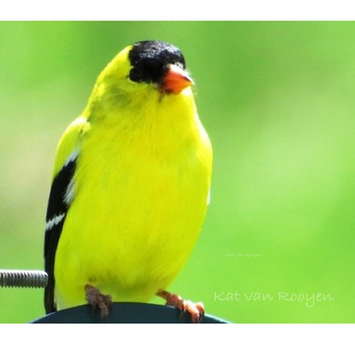 Male American Goldfinch. by Arty_Kat