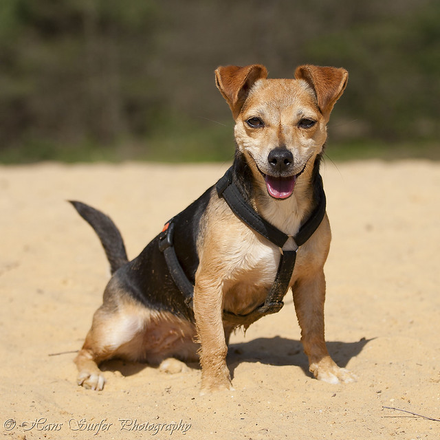 The smile of a DachshundJack  Dachshund Jack Russell Mix