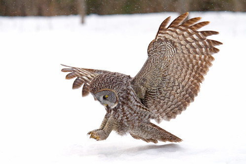 Once a pounce a time, - Great Gray Owl,  Ottawa, Canada