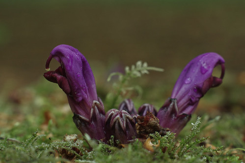 May 11th - Lathraea clandestina